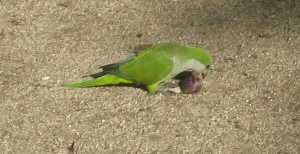 parrot-with-conker